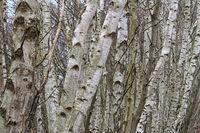 Totes Moor (Dead Moor) - Birch trunks, Germany