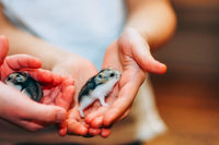 Little cute hamster in human hands