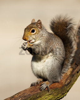Close-up of an Eastern Gray squirrel