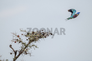 Lilac-breasted roller taking off from whistling thorn