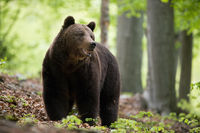 An attentive male of brown bear posing with open mouth in the forest