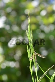 Kohlschnake  -  Große Schnake am Grashalm in der grünen Natur mit Bokeh