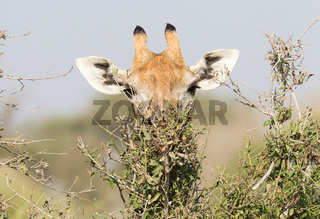 Giraffe eating fresh leaves from a tree