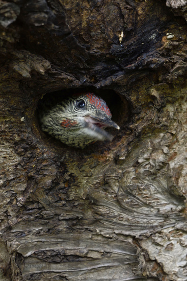 Green Woodpecker * Picus viridis *, chick watching out of nest hole, calling