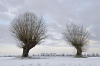 with a little bit of snow... old Pollarded Willows ( Salix sp. ) on a frosty winter morning
