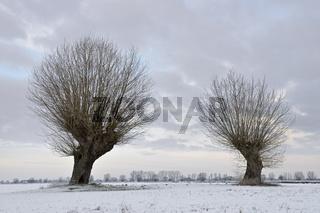 ein wenig Schnee... Kopfbäume *Niederrhein*, Bislicher Insel