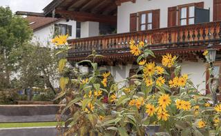 Geäugte Sonnenblume (Helianthus atrorubens) im Garten