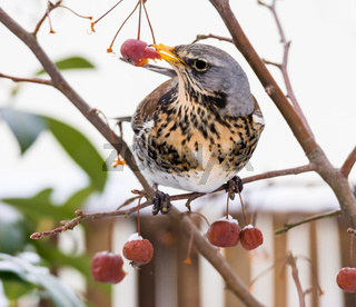 Fieldfare bird picking an apple