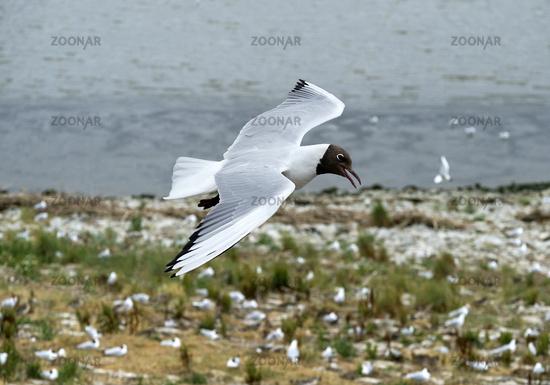 Black-headed gull (Chroicocephalus ridibundus) flying above a breeding colony