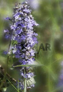 Kriechender Günsel (Ajuga reptans), Blüten