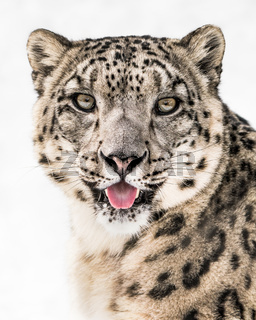 Snow Leopard Closeup II