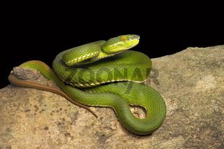 Red tailed pit viper, Trimeresurus erythrurus, Viperidae, Near Gurjee, Tripura , India
