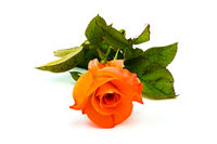Beautiful blooming rose closeup