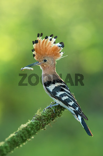 Hoopoe, upupa epops, sitting on a moss covered twig with open crest and catch in the beak.