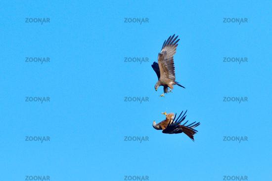 Black kite and red kite