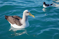 Buller's Albatross, Kaikoura coast, New Zealand.
