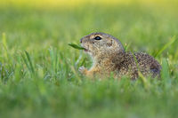 European ground squirrel holding a plant in mouth in tranquil wilderness