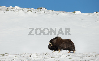 Musk ox standing in the mountains in winter
