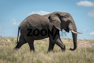 African elephant walks past in long grass