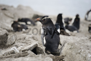 Rockhopper penguin (Eudyptes chrysocome), Falkland Islands, Southern Atlantic Ocean