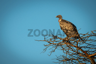 African white-backed vulture perching in golden light