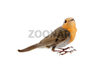 Robin-very nice red bird is common for European forests