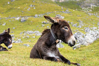 Donkey in the Italian Dolomites seen on the hiking trail Col Raiser, Italy