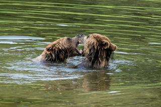 European brown bear, ursus arctos in a park