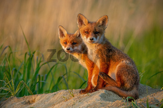 Red fox cubs at sunset curiously looking in camera.