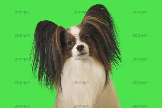 Beautiful dog Papillon male on green background