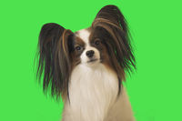 Beautiful dog Papillon male on green background