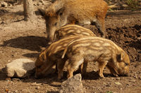 Three baby boars and the brook - the wild boar mother