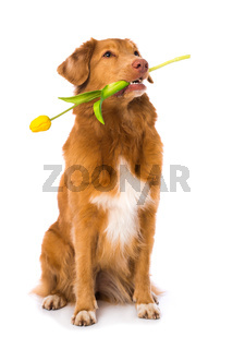 Dog holding a tulip in the mouth