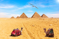 Egyptian Pyramids, camels and a seagull,  Giza