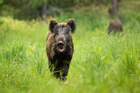 Threatening wild boar standing on a clearing with mouth open in summer.