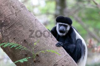 monkey Colobus guereza, Ethiopia, Africa wildlife