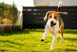 Beagle dog with a ball on a green meadow during spring,summer runs towards camera with ball