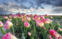 pink tulip field and stormy sky