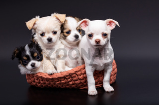 Studio shot of a different Chihuahua puppies in knitted basket on dark background