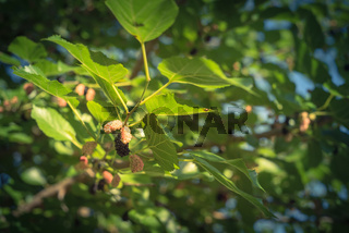 Filtered image ripe mulberry fruits on tree ready to harvest in Texas, USA