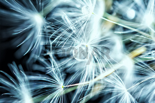 Beautiful dandelion seeds macro with water drop. Dark and Soft light blue background. Abstract artistic image template. Copy space. Spring nature