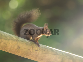 A beautiful squirrel on a wooden beam