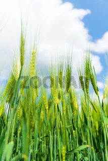 Ears of green rye with blue sky on background