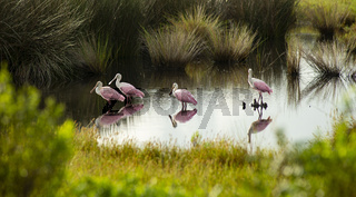 The Roseate Spoonbill is an unusual and unique wading bird found in the southern United States