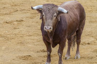 Fighting, bullfight, Spanish brave bull in a bullring. the animal is brown and has very sharp horns