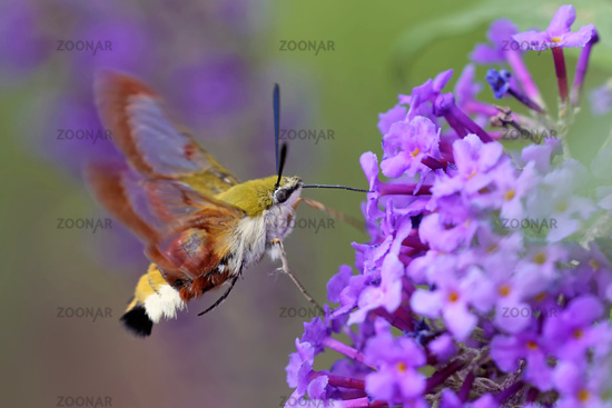 Bumblebee hawk at the summer flieder