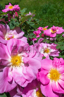Große rosa Blüten einer Heckenrose in Nahaufnahme