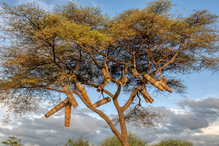 Acacia With Beehives, Ethiopia, Africa