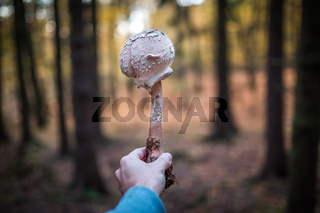Mushroom hunting. Macrolepiota procera or parasol mushroom in forest with hand and trees in the background. Autumn scene.