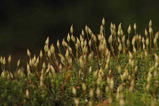 Common haircap moss